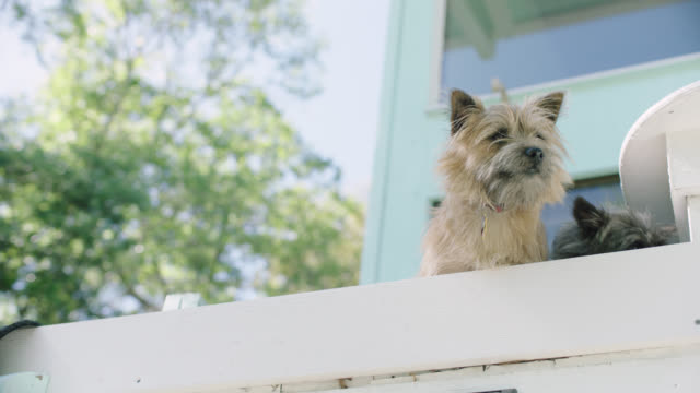vidéos et rushes de slo mo. small dogs look off into distance. - yorkshire