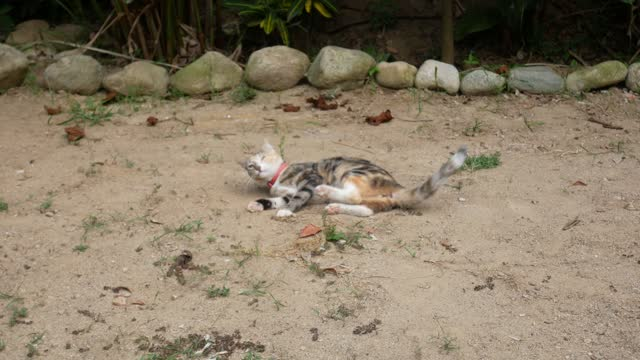 vídeos de stock, filmes e b-roll de small domestic cat with pink collar circles in the sand and scratches with its paw in palomino, colombia - domestic animals