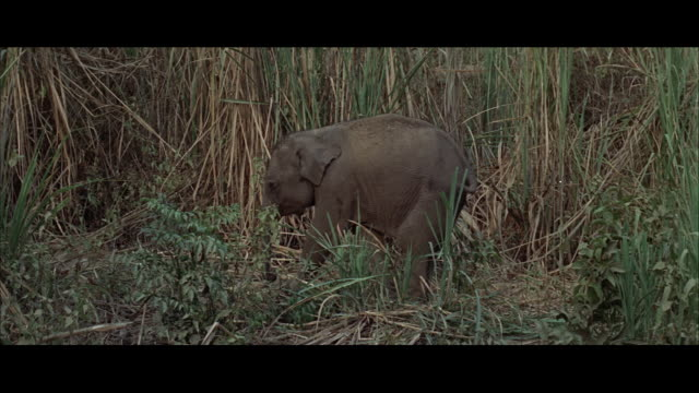 ms small elephant grazeing in heavy jungle - レターボックス点の映像素材/bロール