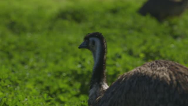 a small emu walking through the leafy bushes - emu stock videos & royalty-free footage