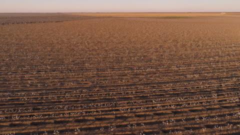 vídeos y material grabado en eventos de stock de pequeñas granjas rodeadas de campos de algodón listos para cosechar al atardecer en otoño, texas, ee.uu. vídeo aéreo de drones con el movimiento de la cámara hacia adelante y hacia arriba. - campo arado