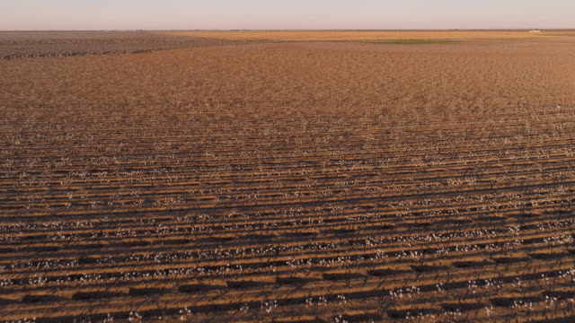 small farms surrounded by cotton fields ready for harvesting at sunset in autumn, texas, usa. aerial drone video with the forward and ascending camera motion. - plowed field stock videos & royalty-free footage