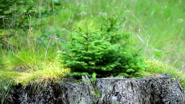 small fir tree grows on a tree trunk - evergreen stock videos & royalty-free footage