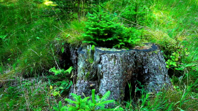 small fir tree on stump - pinaceae stock videos & royalty-free footage