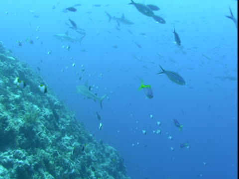 small fish dart around a shark that swims over a coral reef. - hemitaurichthys polylepis stock videos and b-roll footage