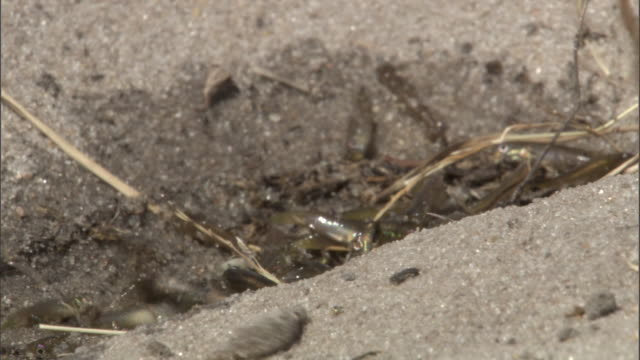 """vidéos et rushes de small fish flap on the sand as water rises up to meet them. - """"bbc natural history"""""""