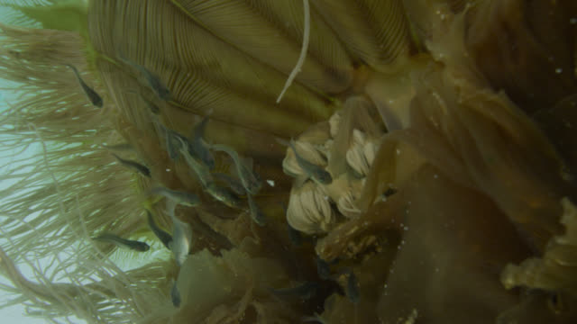 small fish hide in tentacles of jellyfish, falkland islands - atlantic islands stock videos & royalty-free footage