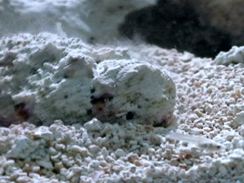 small fish hovering close to hidden poisonous scorpionfish, face of scorpionfish blending in w/ surroundings , scorpionfish burrowing more into... - drachenkopf stock-videos und b-roll-filmmaterial