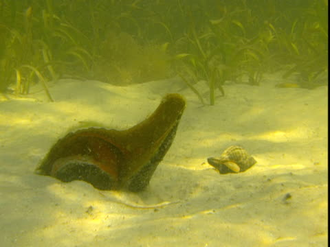 a small fish investigates a florida horse conch and a banded tulip snail that sit on a sandy seabed. - animal shell stock videos & royalty-free footage