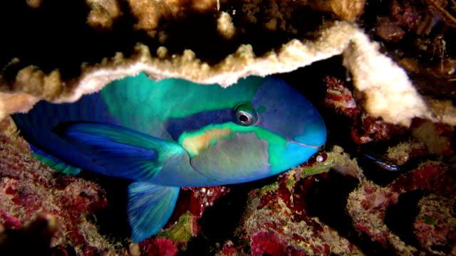 vídeos de stock e filmes b-roll de peixes pequenos beijo dormir peixe papagaio - labro