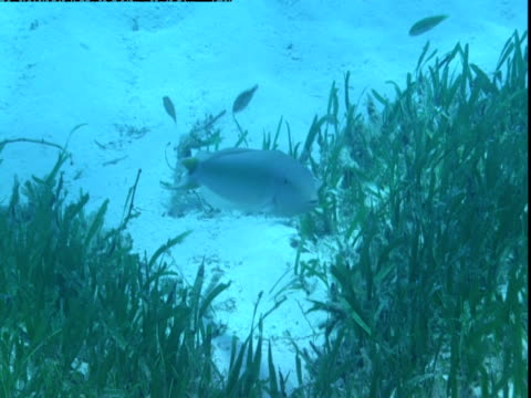 small fish swim near a tilefish in the seagrass on the bottom of the ocean in the bahamas. - seagrass video stock e b–roll