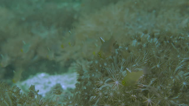 small fish swimming in soft coral undersea, komodo (4k) - soft coral stock videos & royalty-free footage