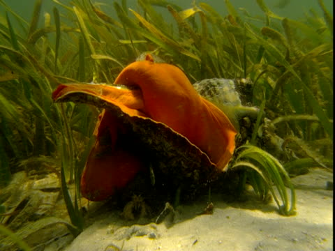 a small fish swims past a florida horse conch that extends its massive body over its shell to feed. - animal shell stock videos & royalty-free footage