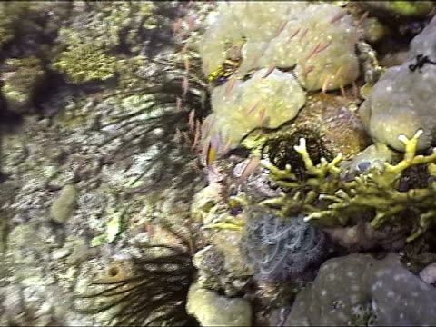 vidéos et rushes de ms, pan, small fishes swimming over coral reef, new britain island, papua new guinea - groupe moyen d'animaux
