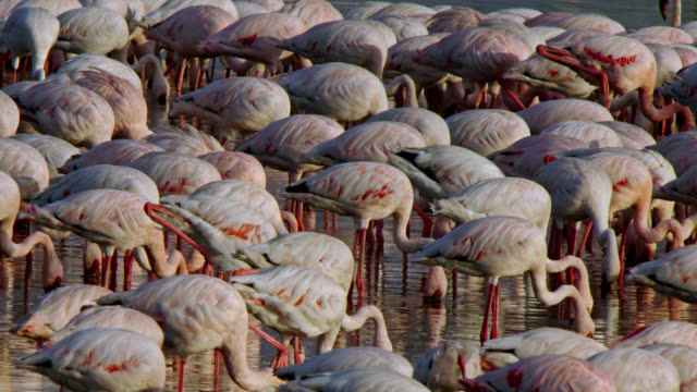 a small flock of lesser flamingos standing still and feeding - medium shot - on one leg stock videos & royalty-free footage