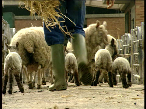 vídeos y material grabado en eventos de stock de small flock of sheep and lambs scurry along path followed by a farmer wearing green wellington boots and carrying hay - oveja merina