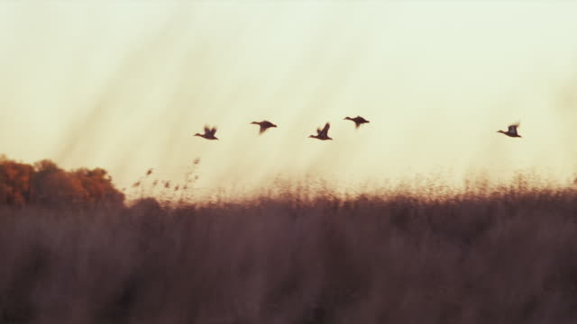 small flock of wood ducks take flight from farm pond at sunrise; fall foliage on bank. - cinque animali video stock e b–roll