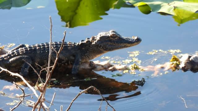 small florida alligator - alligator stock videos & royalty-free footage