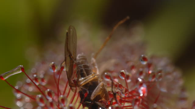 small fly on sundew (drosera capensis) side on - carnivorous plant stock videos and b-roll footage
