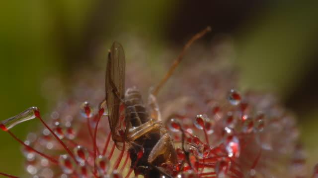 vídeos y material grabado en eventos de stock de small fly on sundew (drosera capensis) side on - carnivorous plant