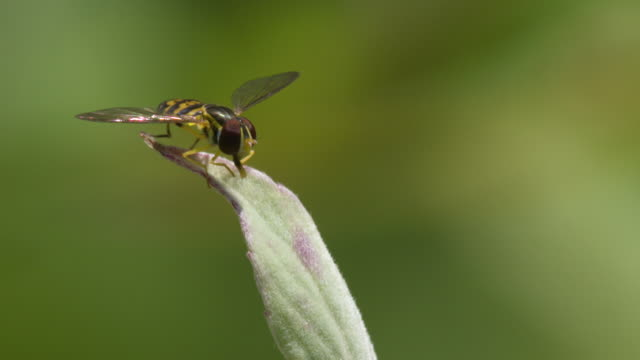 small fly perched on leaf, cleaning face and mouthparts + high speed takeoff - stechen stock-videos und b-roll-filmmaterial
