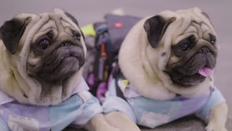 2 small french bulldogs - two objects stock videos & royalty-free footage