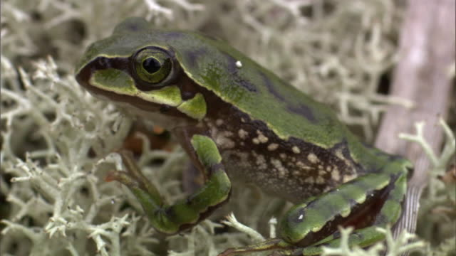 small frog sits on lichen, madagascar - 動物の色点の映像素材/bロール