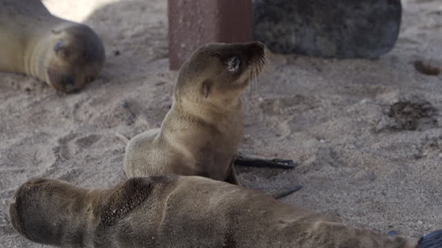 small furry seal pup lying on sand near other seals glances around with large eyes - galapagos islands, ecuador - other点の映像素材/bロール