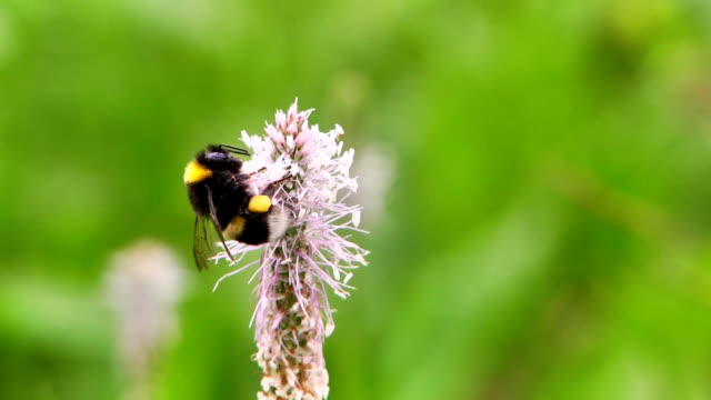 small garden bumblebee on a white-purple flower - pinching stock videos & royalty-free footage
