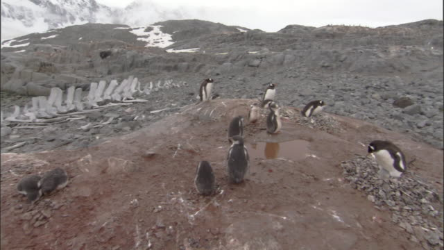 small gentoo penguin (pygoscelis papua) colony, move to see whale skeleton behind - animal skeleton stock videos & royalty-free footage