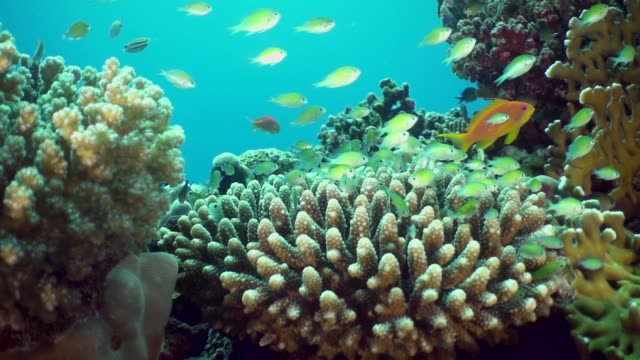 Small green fish escape together inside a coral