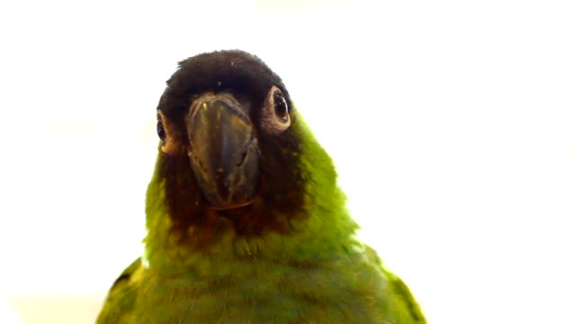 small green parrot - budgerigar stock videos & royalty-free footage
