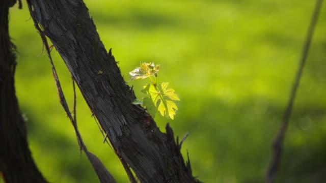vídeos y material grabado en eventos de stock de a small greenleaf of a vineyard - hoja de la vid