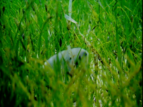 a small grey razorfish hides in the seagrass on the bahamian seabed. - history点の映像素材/bロール