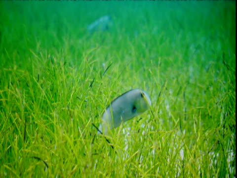 a small grey razorfish swims among seagrass on the bahamian seabed. - seegras material stock-videos und b-roll-filmmaterial