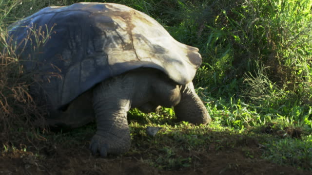 small ground finch and galapagos giant tortoise - tortoise shell stock videos & royalty-free footage