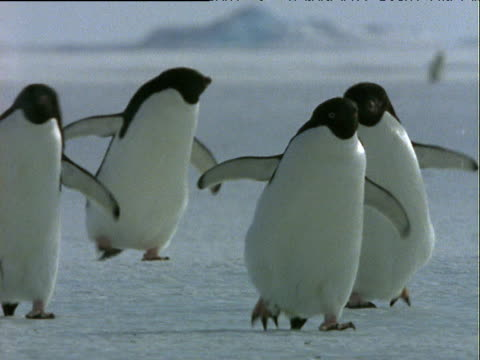 vídeos de stock e filmes b-roll de small group of adelie penguins waddle over ice amusingly towards camera with wings outstretched - asa de animal