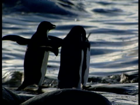 cu small group of adelie penguins waddling to waters edge and diving in, antarctica - waddling stock videos and b-roll footage