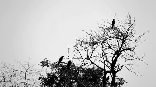 Small group of black crows on tree