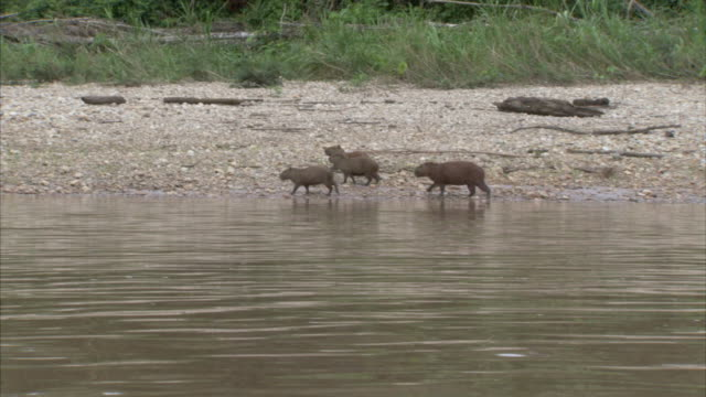 ws pov small group of capybaras walking by rivers edge / chaparrì_ ecological reserve, n/a, peru    - group of animals stock videos & royalty-free footage