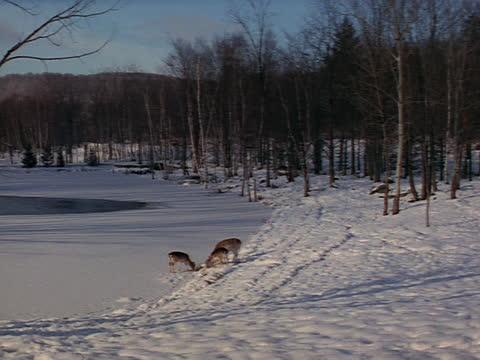 vídeos y material grabado en eventos de stock de a small group of deer feed at the edge of a frozen lake. - small group of animals