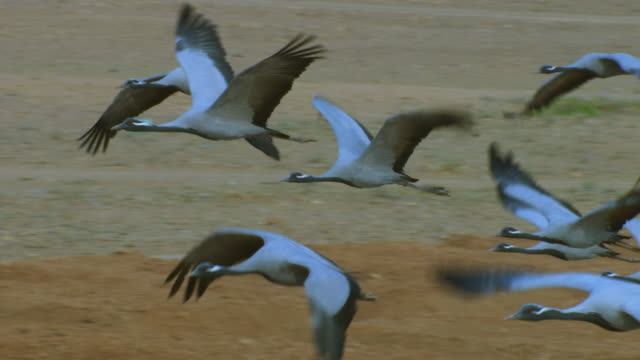SLO MO small group of Demoiselle cranes fly to left with people in background