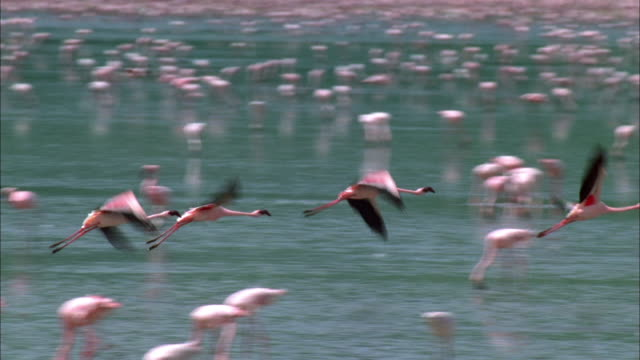 stockvideo's en b-roll-footage met a small group of flamingos fly over a flock wading in a shallow lake. available in hd. - waden