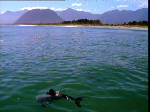 small group of hector's dolphins surface in shallows, jackson bay, new zealand - hector's dolphin stock videos & royalty-free footage