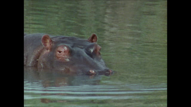 small group of hippopotamus resting in river, large bull male behind smaller hippo, hippo w/ head half submerged, larger male moving behind others,... - lowering stock videos & royalty-free footage