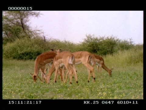 ms small group of impala (aepyceros melampus) grazing - grazing stock videos & royalty-free footage
