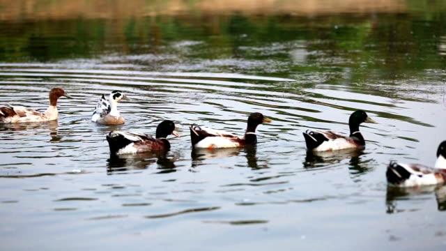 small group of mallard bird - water bird stock videos & royalty-free footage