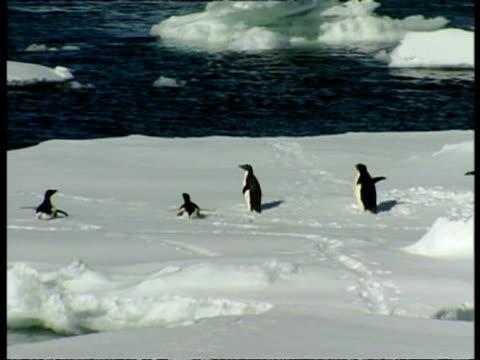 mwa small group of penguins scurry on bellies across ice into water, antarctica - animal abdomen stock videos and b-roll footage