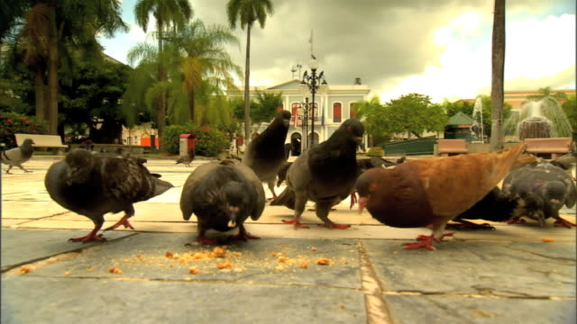 stockvideo's en b-roll-footage met small group of pigeons eating food off plaza santiago palmer concrete walk, startled, spooked, flying back away from food. public space, birds,... - pikken