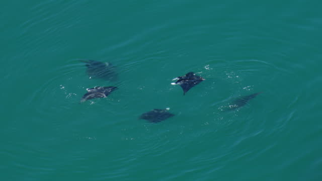 vídeos de stock e filmes b-roll de a small group of reef manta rays (manta alfredi) swim in waters off the coast of the hawaiian island of oahu. - ratão águia